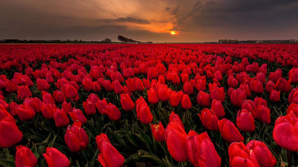 11 апреля - День красного тюльпана - Всемирный день борьбы с болезнью Паркинсона